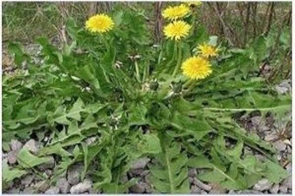 أسماء نبات الهندباءDandelion