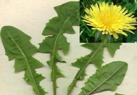 فوائد عامة لنبات الهندباء Dandelion