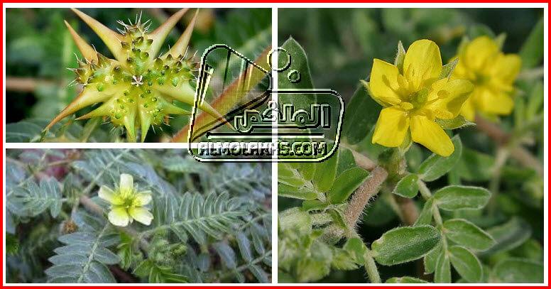 نبذة تعريفية عن نبات الحسك 9